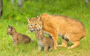 Bobcat mother and kittens