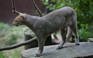 Young jaguarundi