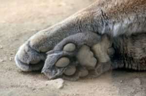 Mountain lion paws